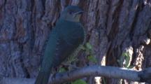 A Bowerbird, Perched, Observes, And Departs