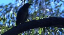 A Bowerbird, Perched On A Branch, Preens