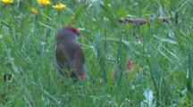 A Firetail Nibbles On Seeds In A Meadow
