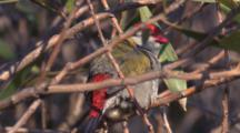 A Firetail Finch In Scrub Preens And Leaves