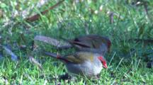 Two Firetail Finches On A Meadow Forage For Grass Seeds