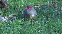 A Firetail Finch On A Meadow Forages For Grass Seeds