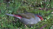 Firetail Finches On A Meadow Feed On Grass Seeds