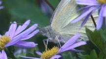 A Cabbage White Butterfly Drinks Nektar On A Purple Flower