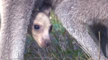 Close View Of A Kangaroo Joey In The Mother's Pouch
