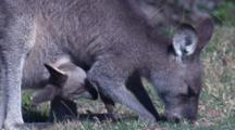 A Kangaroo Grazes, While Its Joey Grooms A Leg In The Pouch