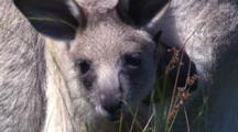 A Kangaroo Mother Stands In Tall Grass With Joey In The Pouch