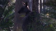 A Kangaroo Pauses Near Burrawang Palms