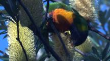 With Its Brush-Tipped Tongue, A Lorikeet Feeds On Pollen