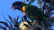 With Their Brush-Tipped Tongue, Lorikeets Also Feed On Pollen