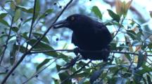 A Pied Currawong Eats Berries On Top Of A Bush