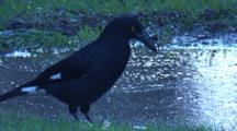 A Pied Currawong Finds A Worm In The Grass