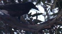 A Juvenile Currawong Tries To Find Prey On The Branches Of A Tree