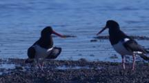 Oystercatchers Forage On A Mud Flat At The Returning Tide