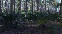 Burrawang Palms In A Spotted Gum Forest With Lake Behind