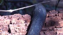 A Black Snake Glides Over A Decaying Tree