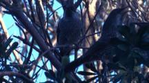 Wattlebirds Congregate In A Bush