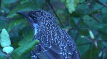 A Wattlebird Sits Perched In A Bush And Leaves