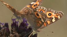 Mating Argus Butterflies On Purple Flower