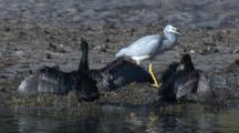 A White Faced Heron Walks Past Two Little Black Cormorants