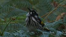New Holland Honeyeater Hunts Flying Insects