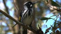 New Holland Honeyeater, Perched On Branch, Looks Around And Departs