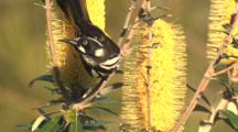 New Holland Honeyeater Feeds On Banksia Bloom And Flies Off
