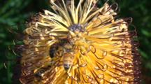 Honey Bees Collect Pollen From A Flowering Banksia