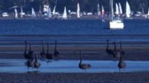 Black Swans Congregate On A Mudflat Near Marina, Sailing Boats Behind