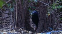 A Male Satin Bowerbird Works On Its Bower