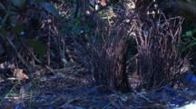 The Bower Of A Satin Bowerbird, Decorated With Blue Items