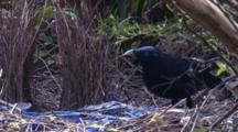 A Male Bowerbird At The Bower Plays With Its Possessions