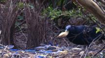 A Male Bowerbird At The Bower Plants A New Stick