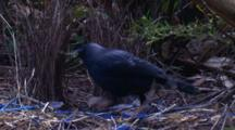 A Male Bowerbird Puts A New Stick Into Its Bower And Makes Adjustments