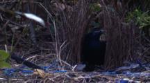 A Male Bowerbird Puts A Couple Of New Sticks Into Its Bower