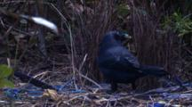 A Male Bowerbird Puts A New Stick Into Its Bower And Leaves