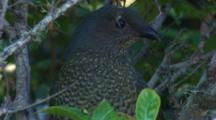A Juvenile Bowerbird Tries To Find Food In A Bush