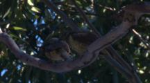 Two Juvenile Bowerbirds Wait For Snacks From Mother