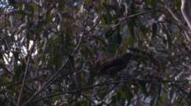 A Bowerbird Female Forages On Gum Tree Blossoms