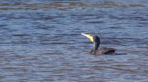 Great Cormorants Forage In Freshwater And The Ocean