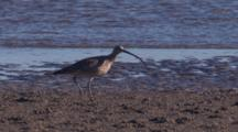 An Eastern Curlew Walks On An Exposed Mudflat At Low Tide