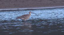 An Eastern Curlew Searches For Food In Shallow Water