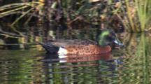 A Chestnut Teal Swims Along The Margin Of A Pond