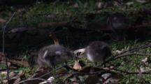 Four Ducklings Forage On The Forest's Margin