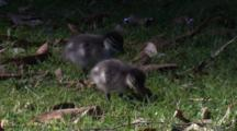 Two Ducklings Forage On The Forest's Margin