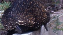 A Short-Beaked Echidna Searches For Food In A Park-Reserve