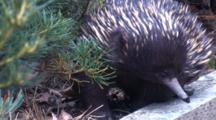 A Short-Beaked Echidna Tries To Find A Way Down From A Timber Wall