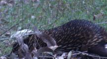 A Short-Beaked Echidna Decides To Slip Through Under A Wire Fence