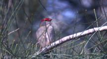 A Red-Browed Finch Preens On A Cusuarina Branch