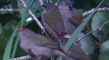 Red-Browed Finches And Their Offspring Gather In The Undergrowth